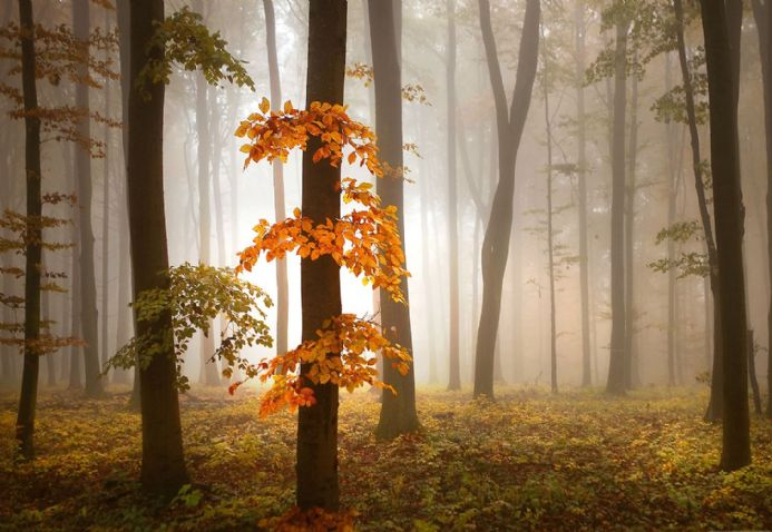 Photo wallpapers FOGGY AUTUMN FORREST | Shop online